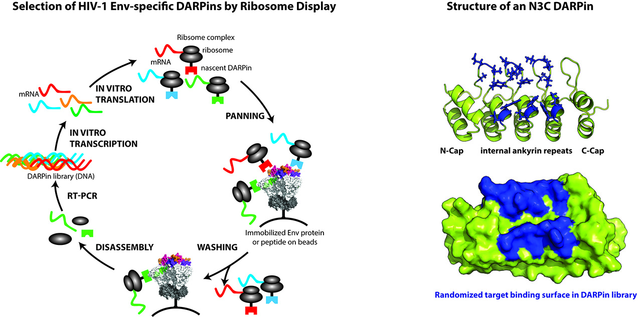 Selection of HIV-1 Emv-specific DARPins by Ribosome Display (left) and Structure of an N3C DARPin (right)